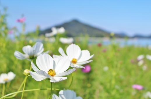 コスモス 秋桜 秋 初秋 花 花びら 蕾 白 白い 白い花 白いコスモス ホワイト white フラワー flower 花言葉 青空 空 青い空 青い 青 青色 水色 空色 ブルー blue 晴れ 晴天 快晴 ハッキリ はっきり くっきり クッキリ すっきり スッキリ 自然 風景 景色 壁紙 背景 テクスチャ 素材 島 山 フレーム 可憐 優しい 愛らしい ひたむき 素朴 キレイ 綺麗 きれい かわいい 可愛い カワイイ のびのび