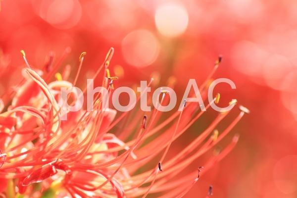 秋の花、彼岸花と玉ぼけですの写真