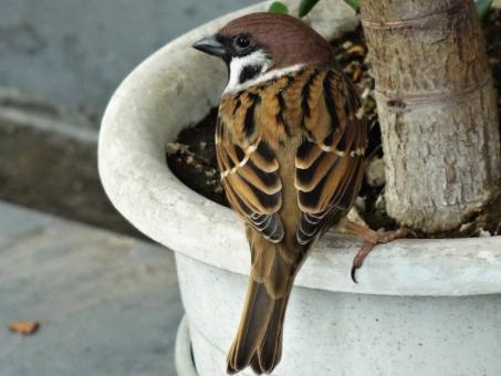 竹に雀に関する写真写真素材なら写真ac無料フリーダウンロードok