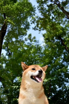 柴犬・夏空の写真