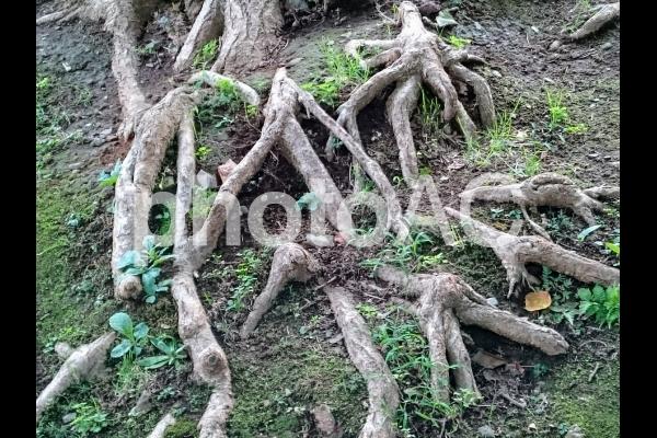 木の根っ子の写真
