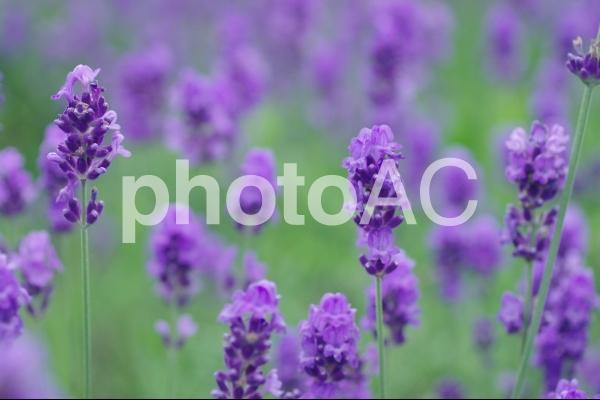 八紘学園のラベンダーの写真