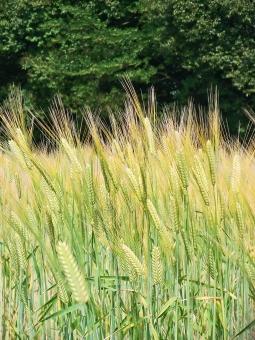 田園風景 風景 景色 原風景 麦畑 麦 小麦 自然 植物 緑 草木 樹木 木 農作物 農業 農地 畑 作物 穀物 ファーム 懐かしい景色 懐かしい風景 穂 秋 秋の景色 秋の風景 季節