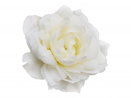 花 お花 切り抜き パス クリッピングパス 白い花 白 素材 写真素材 写真 フリー バラ ばら 薔薇 ローズ 白バック