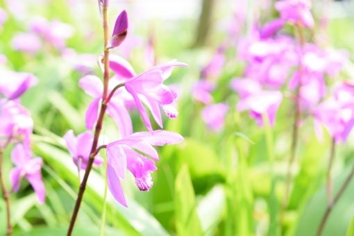 紫蘭 シラン しらん 蘭 蘭科 ラン科 紫 紫色 花 植物 春 3月 4月 5月 明るい 花壇 ガーデニング 蕾 つぼみ たくさん 壁紙 コピースペース 文字スペース 背景 花言葉 忘れない