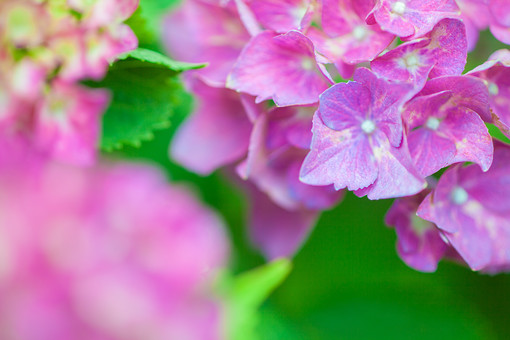 自然 植物 花 花びら ピンク 桃色 紫 葉 葉っぱ 緑 小花 満開 開く 咲く 開花 成長 育つ 集まる 密集 多い 沢山 ぼやける ピンボケ あじさい アジサイ 紫陽花 重なる 加工 無人 室外 屋外 風景 景色 幻想的