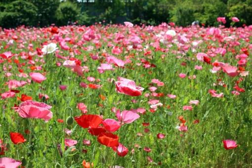 ポピー ピンク 花 初夏 夏の花 5月 5月の花 花畑 お花畑 植物 自然 明るい メルヘン 淡い 一面 咲き誇る