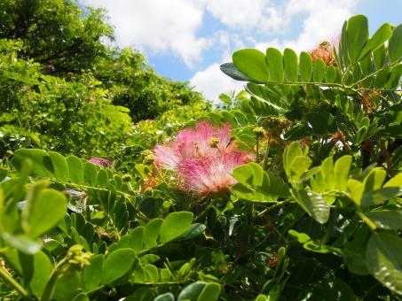 この木なんの木 花 変わった花 草 葉っぱ 葉 沐浴 森林浴 青空 空 雲 植物 緑 木々 木 樹木 サマンの木 MONKEY POD モンキーポッド アメリカネム モアナルア ガーデンパーク 公園 日立の樹 ハワイ ハワイイ 外国 海外 異国 気になる木