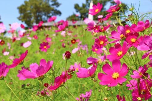 コスモス コスモス畑 花 植物 秋桜 秋 初秋 九月 9月 pink ピンク ピンク色 ピンクのコスモス ピンク色のコスモス 濃いピンク 淡いピンク 桃色 鮮やか 艶やか collar カラー 自然 風景 景色 景観 壁紙 背景 テクスチャ 素材 明るい 朗らか カワイイ 可愛い かわいい 綺麗 キレイ きれい 素敵 ステキ 可憐 密集 群生 花言葉 たくさん いっぱい 秋の色 autumn 愛らしい 花びら 花粉 彩り 優しい フンワリ ふんわり 陽射し 日差し green 緑 緑色 公園 蜜 青空 晴れ