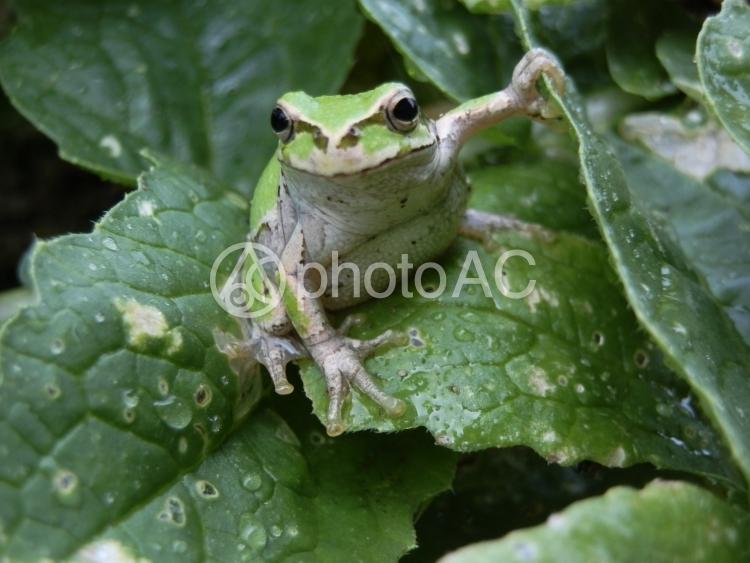 葉の上のアマガエルの写真