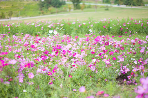 秋の風景 コスモス アキザクラ 秋桜 コスモス畑 花畑 花園 桃色 ピンク 白 緑 植物 花 葉 草花 一面 満開 散歩 散策 公園 広場 自然 風景 景色 真心 のどか 鮮やか 華やか 美しい 綺麗 明るい ボケ味 ピントぼけ