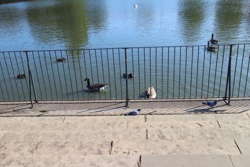 イギリス england unitedkingdom greatbritain uk ロンドン london ヨーロッパ 欧州 europe 鴨 wild duck 鳥 bird