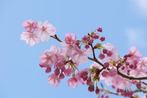 合格 新入生 入学 お花見 入学式 空と桜 3月 卒業式 桜前線 テクスチャ テクスチャー 樹木 木 テキストスペース コピースペース 植物 優しい やさしい ソフト 柔かい やわらかい 美容 四月 光 4月 白 花弁 花びら 爽やか さわやか 青 空 青空 水色 自然 美しい さくら サクラ ピンク 花 春 綺麗 可愛い かわいい 背景画像 桜 カード ハガキ バックグラウンド 余白 スペース バック バック素材 素材 背景素材 日本 壁紙 明るい アップ 背景 和風 和 年賀状素材 元旦 年賀ハガキ イメージ 1月 新春 新年 お正月 正月 年賀状 年賀 元旦素材 初春 迎春