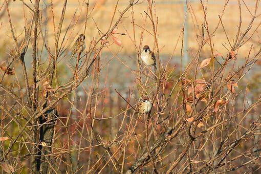 すずめ スズメ 雀 鳥 とり トリ 鳥類 動物 生き物 とまる 自然 外 屋外 羽 羽根 小さい 小動物 秋 冬 枯れ葉 枝 小枝 自然 植物 季節