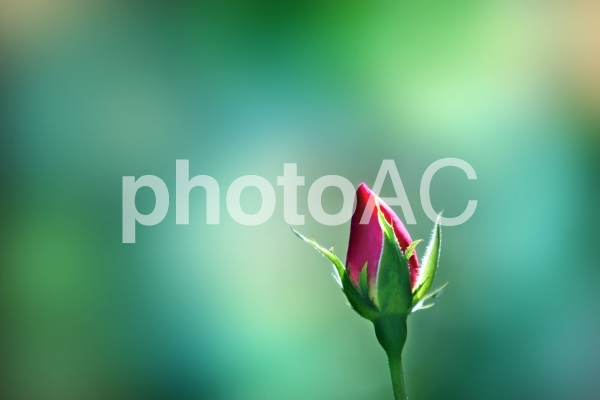 バラのつぼみの写真