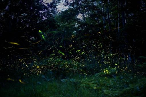 蛍 ほたる ホタル 儚い 生き物 自然 風景 landscape fireflies