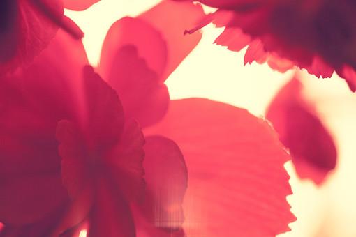自然 植物 花 花びら 赤 透ける 光 陽射し 重なる 多い 沢山 密集 集まる 開く 開花 咲く 成長 育つ アート 芸術 無人 加工 アップ ギザギザ 縮れる 綺麗 美しい