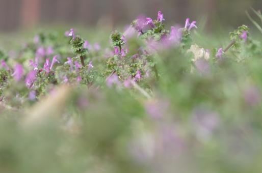 春 野草 雑草 仏の座 ホトケノザ ピンク