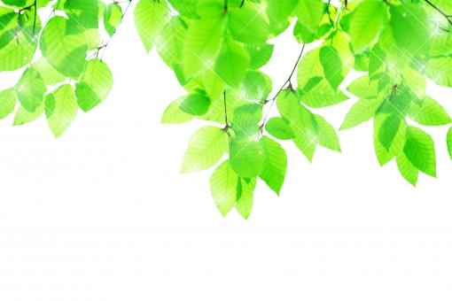 ブナ ぶな 山毛欅 山毛欅林 ブナ林 ぶな林 葉っぱ 木の葉 木葉 はっぱ 木の枝 小枝 自然 風景 木 樹木 森 植物 緑 グリーン エコ エコロジー 環境 eco eco eco 森林 森林浴 森林セラピー 癒し いやし リラックス リラクゼーション やすらぎ 安らぎ 葉 マイナスイオン 健康 美容 背景 背景素材 テクスチャ テクスチャー バックグラウンド ワンポイント 切り抜き きりぬき 背景白 パス マスク クリッピングパス アクセント 飾り 5月 夏 緑 春 初夏 癒し きらめき キラメキ 優しさ キラキラ