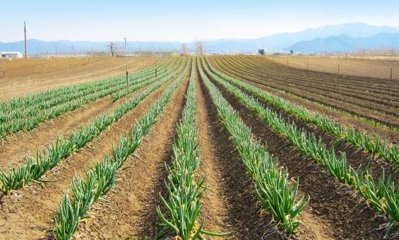 農業 野菜畑 農家 兼業農家 はたけ 畑 植える 植物 食物 葱 長ネギ 長ねぎ 青ネギ 青ねぎ 耕す 田舎