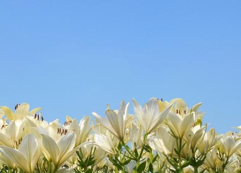 百合 ゆり ユリ 百合と青空 空 絵葉書 バック 背景 背景素材 植物 リトーウェン 白百合 しらゆり 白い百合 白ユリ 白 花壇 夏 暑中見舞い lily 球根 歩く姿は百合の花 残暑見舞い バックグラウンド 壁紙 texture テクスチャ テクスチャー テクスチャ素材 花畑 百合畑