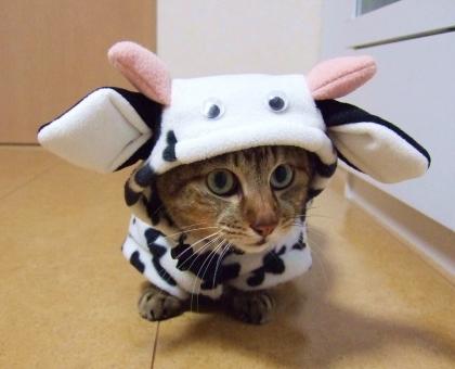 ネコ 猫 ねこ 仮装 コスプレ 牛 うし 着ぐるみ 衣装 目を開けた 顔 表情 変装 丑 干支 動物 生き物 可愛い カワイイ 家猫 飼い猫 室内猫 ちゃこ ペット 1匹
