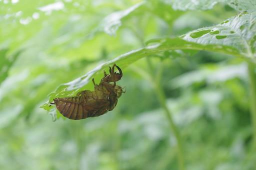 セミのぬけ殻 蝉 セミ せみ 殻 昆虫 生き物 空っぽ すかすか 中身が無い 植物 虫 葉っぱ 野外 屋外 野生 成長 羽化 脱皮 茶色 褐色 アブラゼミ 外側