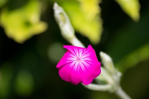 ピンク色 植物 花 可憐 マゼンタ色 花一輪
