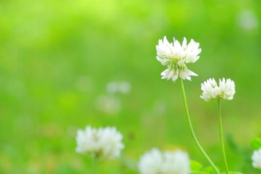 ミドリ 屋外 戸外 原っぱ 黄緑 しろつめ草 雑草 素朴 野の花 白い花 白詰め草 野草 可愛い かわいい 風 そよ風 マイナスイオン 8月 6月 6がつ 7月 7月 8月 9月 優しさ やさしい 優しい しろつめくさ 四つ葉 癒し 草 新緑 4月 四月 りラックス マクロ クローズアップ アップ 接写 バック バックグラウンド 背景画像 背景写真 エステ 4月 清潔 清涼 白詰草 野原 草原 草花 みどり 五月 六月 葉 素材 シロツメクサ コピースペース 葉っぱ テキストスペース 爽やか さわやか 庭 5月 6月 清々しい 涼しい 涼しげ 涼感 清涼感 ソフト はっぱ 自然 植物 グリーン エコ エコロジー 環境 eco いやし リラックス リラクゼーション やすらぎ 安らぎ 健康 美容 テクスチャ テクスチャー 5月 夏 緑 初夏 イメージ 春 クローバー 光 壁紙 10月 花畑 花 背景 背景素材 明るい 白 公園