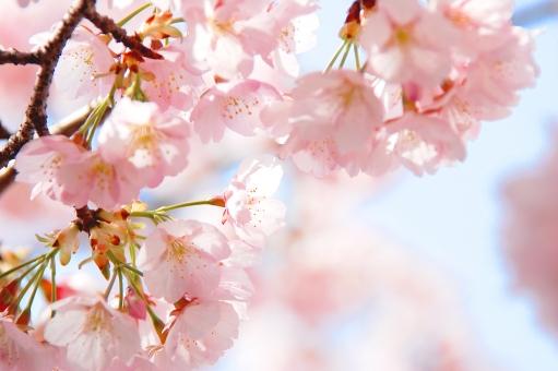 桜 ソメイヨシノ ピンク 春 満開 入学式 サクラ さくら sakura 花 フラワー 花びら 花見 卒業式 壁紙 背景 はんなり 新生活 新生活 卒業式 パステルカラー やわらかい 四季 季節 青春 旅立ち 軽やか 新鮮 晴れやか 豊かな