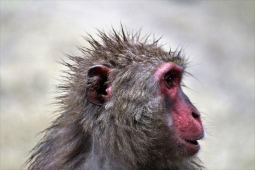 猿 サル さる ヘアモデル 哺乳類 ニホンザル メンズ 横顔 ヤング 男性 モテる つんつん ピンピン 好感 清潔感 若い男性 髪型 不評 好評 人気 さわやか ヘアメイク web予約 ヘアワックス スプレー 技術