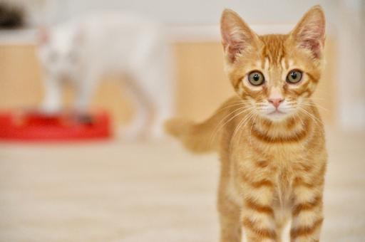 猫カフェの茶トラ子猫の写真