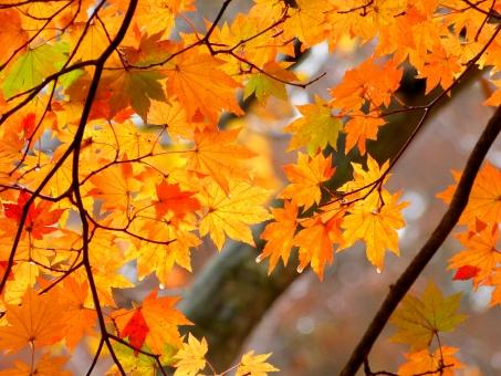 紅葉 もみじ モミジ 楓 カエデ 葉 植物 秋 赤 オレンジ 橙 自然 風景 背景 雨