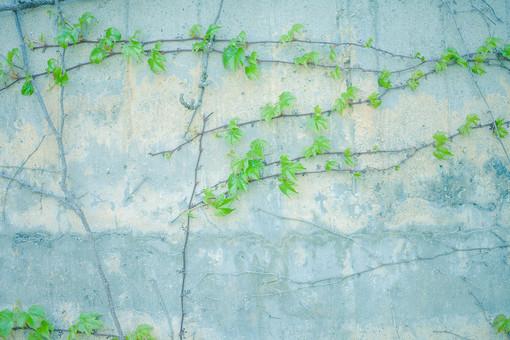 自然 植物 葉 葉っぱ 緑 巻きつく 這う 蔦 壁 コンクリート シミ グレー ねずみ色 灰色 硬い 塀 ヒビ 割れる 傷 無人 屋外 室外 自然 風景 景観 成長 育つ 伸びる 平行  幻想的