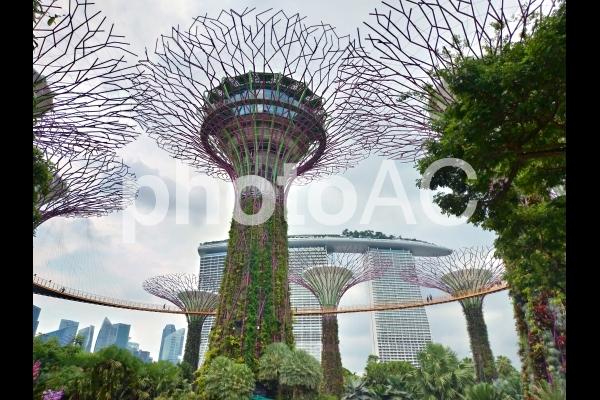 シンガポール ガーデンズバイザベイ スカイウェイ スーパーツリーグローブとマリーナベイサンズ の写真