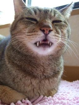 ネコ 猫 ねこ 愛猫 睡魔 うたたね うたた寝 口半開き 牙 目をつむる 目を閉じる 表情 顔 ほのぼの リラックス 癒し くつろぐ 寝る 眠る アップ 接写 昼寝 ゆるんだ口元 可愛い 家猫 おもしろい 室内猫 マヌケ ちゃこ 動物