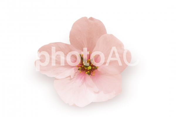 一輪の桜-切抜きパス付の写真