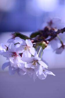 透け感のある桜7の写真