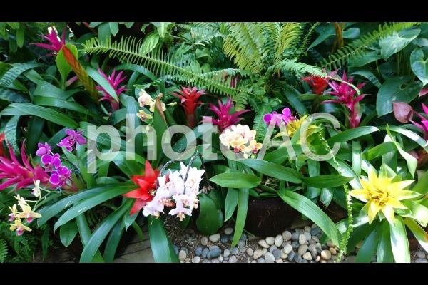 カラフルな熱帯植物 グズマニアの写真