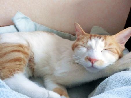 ネコ 猫 ねこ キャット にゃんこ 白 茶 ピンクの鼻 アイーン 家ネコ 飼い猫 白いひげ にゃらん 耳 目を閉じる 目をつぶる リラックス 睡眠 昼寝 癒し 安心感 動物 目を閉じた 寝そべる くつろぐ 愛猫 幸せ 室内猫 ベッド 寝る