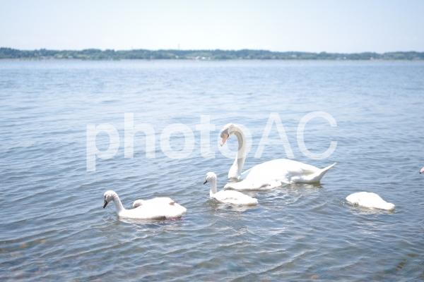 白鳥の親子の写真