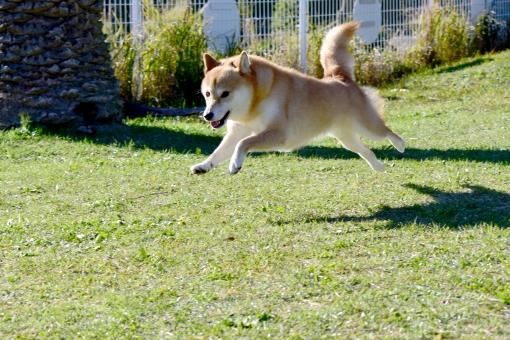 柴犬・ドッグラン・飛行犬の写真