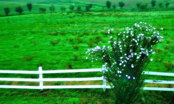 蒜山 蒜山高原 朝 夏 緑