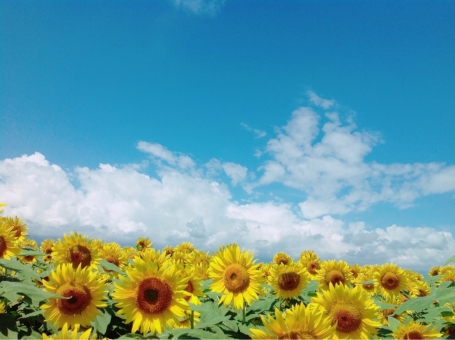 ひまわり 一面のひまわり ひまわり畑 青い空 青空 晴天 晴れ 雲 白い雲 入道雲 地平線 夏 真夏 7月 8月 9月 夏休み 花畑 花 ヒマワリ 背景 向日葵 風景 旅行 ポスター 文字 迫力 芸術的 おしゃれ 素敵