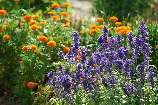 自然 風景 環境 植物 花 草花 観葉 手入れ 栽培 世話 水やり 植える 育てる ベランダ 庭 林 公園 花壇 癒し 咲く 開花 成長 土 観察 アップ たくさん きれい 美しい かわいい 紫 オレンジ