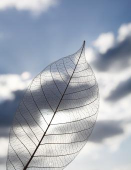 葉 葉っぱ 植物 葉脈 繊維 スケルトン 空 雲 青空 シルエット 一枚 1枚 模様 自然 背景 テクスチャ テクスチャー 質感 半透明 繊細 イメージ アップ クローズアップ 屋外