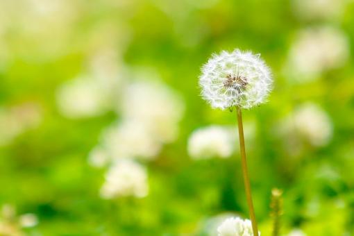 たんぽぽ 綿毛 タンポポの綿毛 緑 種 草 花 旅立ち コピースペース 自然 リラックス 植物 公園 風景 緑色
