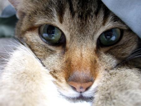 猫 ネコ カメラ目線 接写 マクロ 表情 顔 視線 布団の中 かわいい 寝起き 朝寝坊 家猫 飼い猫 室内猫 怠ける 動物 だらける 睡眠 大きな目 アップ ちゃこ CAT くつろぐ リラックス 可愛い もぐった 身をひそめる やる気なし 引きこもり