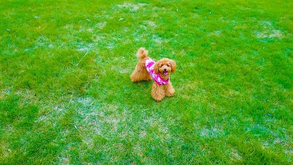 トイプードル プードル 犬 いぬ ペット 茶色 ドッグ ドック アプリコット こいぬ 子犬 かわいい 動物 生き物 ペットショップ トリミング ドッグラン 芝生 芝 緑 飼い犬 散歩 ふわふわ くりくり 鼻 耳 口 毛 緑色