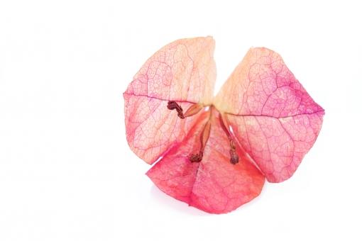 ブーゲンビリア 花 花びら 花弁 紫色 葉 葉っぱ 葉脈 植物 自然 枯れる 枯れた しおれる 萎れる 萎れた 乾燥 繊細 可憐 ドライフラワー アップ クローズアップ 質感 白バック 白背景 屋内 スタジオ スタジオ撮影 イメージ フラワーアレンジメント 1つ 余白 コピースペース 衰退 赤 ピンク色 茶色